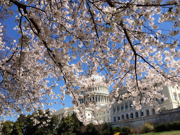 Capitol Dome through the Cherry Blossoms Washington DC