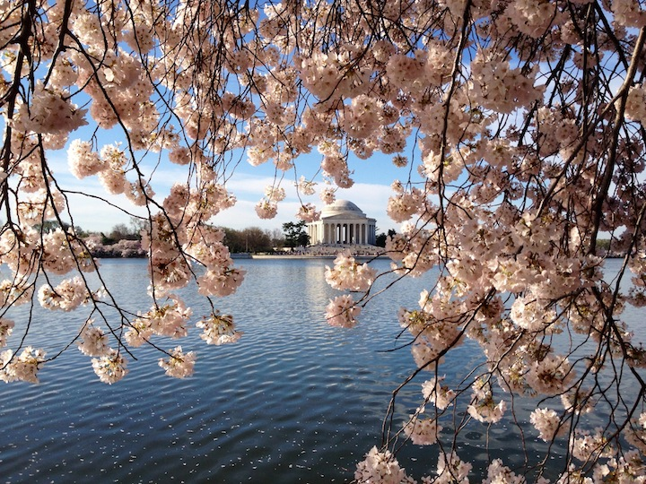 Jefferson Monument Cherry blossoms 2014