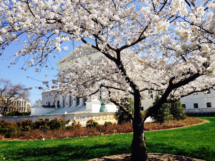 Cherry blossoms in front of Supreme COurt Washington DC