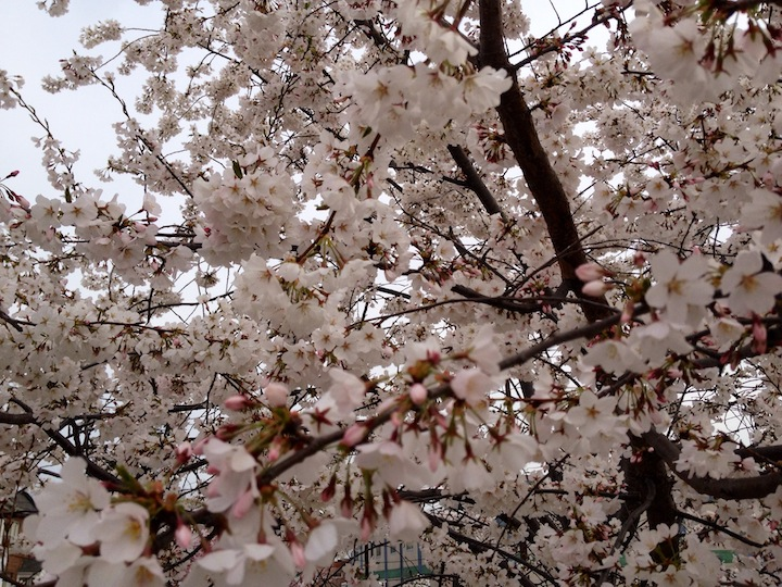 Cherry blossoms in Washington DC 2014
