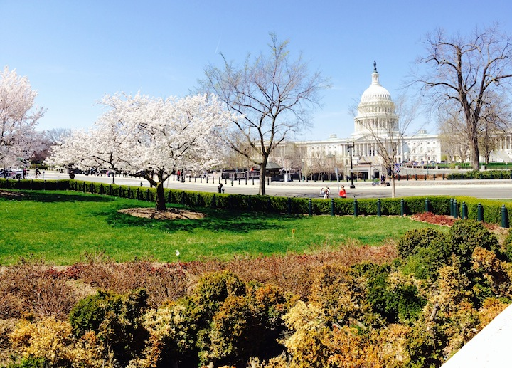 Cherry blossoms view in front of Supreme Court