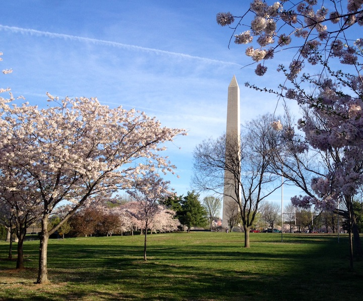 Cherry Blossoms in front of Washington Monument 2014